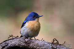 Tickell's Blue Flycatcher (Cyornis tickelliae) (:: p r a s h a n t h ::) Tags: indianbirds southindianbirds tickellsblueflycatcher blueflycatcher flycatcher cyornistickelliae ganeshgudi 2018