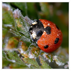 Slumbering (Southwood17) Tags: tamron 90mm macro 90 mm seven spot ladybird