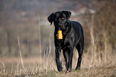 proud (uwe.kast) Tags: labrador labradorretriever labradorredriver hund haustier dog bichou bokeh proud stolz panasonic lumix g9