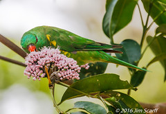 Scaly-breasted Lorikeet (Jim Scarff) Tags: australianbirds lorikeets parrots parrotsandcockatoos scalybreastedlorikeet trichoglossuschlorolepedotus exif:focallength=560mm exif:lens=ef100400mmf4556lisiiusm14xiii camera:model=canoneos7dmarkii camera:make=canon exif:isospeed=800 exif:model=canoneos7dmarkii geo:location=hastiesswampnationalpark exif:aperture=ƒ90 exif:make=canon