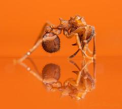 Trachymymex turrifex (Seth Burgess) Tags: ant trachymyrmex orange reflection