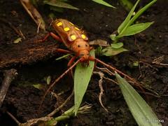 Longhorn Beetle, Coccoderus amazonicus, Cerambycidae (Ecuador Megadiverso) Tags: andreaskay beetle cerambycidae coccoderusamazonicus coleoptera ecuador longhornbeetle wildsumaco