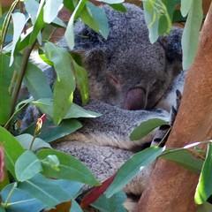 Pairi Daiza (69) Koala (Johnny Cooman) Tags: brugelettecambroncasteau wallonie belgië bel animal dieren natuur ベルギー aaa panasonicdmcfz200 henegouwen hainaut belgium bélgica belgique belgien belgia zoo