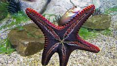 Starfish and Friend (Jan Nagalski) Tags: fish aquarium starfish tubefeet arms fivearmed gravel water underwater algae nature animalbehavior denveraquarium downtowndenver denver colorado jannagalski jannagal