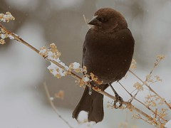 Cowbird (naturephoto50) Tags: cowbird bird