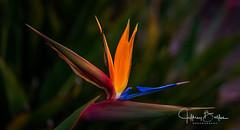 Garden Shots-4195 (Jeffrey Balfus (thx for 4 Million views)) Tags: sonya9mirrorless sonyalpha sonyilce9 fullframe 90mmf28macrogossprimelensmacro sel90m28g flowersplants topf25