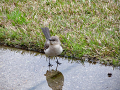 Mockingbird In A Puddle. (dccradio) Tags: lumberton nc northcarolina robesoncounty outdoor outdoors outside grass lawn greenery yard bird mockingbird northernmockingbird sidewalk concrete cement nature natural animal march spring springtime friday fridaymorning morning goodmorning puddle rainpuddle reflect reflection canon powershot elph 520hs photooftheday photo365 project365