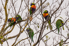 Hungover Parrots (Malcom Lang) Tags: parrots birds bird lorikeets lorikeet rainbow parrot trichoglossus moluccanus gorging figs tree raucous load sky fruit fruiteaters leaves branch branches lichen moss australia australian aussie southaustralia southern south southernaustralia southerneyrepeninsula eyrepeninsula eyre lowereyrepenninsula canoneos6d canon100400ef mal lang photography