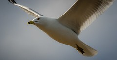 White Gull Beautiful (Epperly Photographic Images) Tags: birds seagull close nikon 200500mm nature wildlife