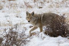 On the Prowl (RkyMtnGrl) Tags: coyote wildlife songdog trickster rockymountains estespark colorado 2019 spring march