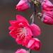 Pink Japanese plum blossoms