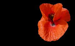 ROSELLA (Joan Biarnés) Tags: santgregori gironés catalunya flor macro panasonicfz1000 rosella amapola