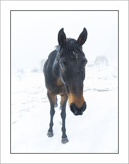 Le curieux! ;-) (the curious) (Francis =Photography=) Tags: europa europe france grandest lorraine vosges 88 chevaux cheval brume horse mist rencontre encounter meet lehautdutôt