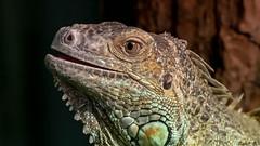 Green Iguana (Henk G.) Tags: animal leguaan green iguana