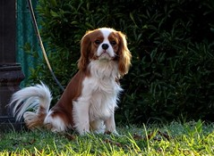 a lovely king (fotomie2009) Tags: cane cavalier king charles spaniel dog animal fauna