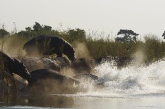 Divers (Claudio e Lucia Images around the world) Tags: hippo diving divers tuffo acqua namibia falls pupa pupafalls divundu caprivi pentax pentaxk5 sigma sigma150500 pentaxart sigmaart africa ippopotamo sabbia