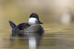 Non-breeding male Ruddy Duck (Gregory Lis) Tags: ruddyduck oxyurajamaicensis nevada lasvegas gorylis gregorylis nikond810 nikon duck