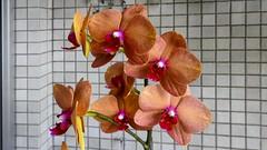 Orquídea Alaranjada (série com 5 fotos) (Parchen) Tags: orquídea orquídeas cacho flor fores alaranjadas bela bonita linda beleza vanda avermelhadas orquídeaalaranjada laranja foto fotografia imagem registro lindo phalaenopsis
