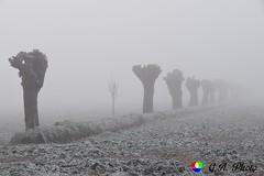 Anche i gelsi sembra vogliano raggomitolarsi dal freddo (Gianni Armano) Tags: gelsi nebbia brina san giuliano nuovo alessandria piemonte italia photo gianni armano foto flickr