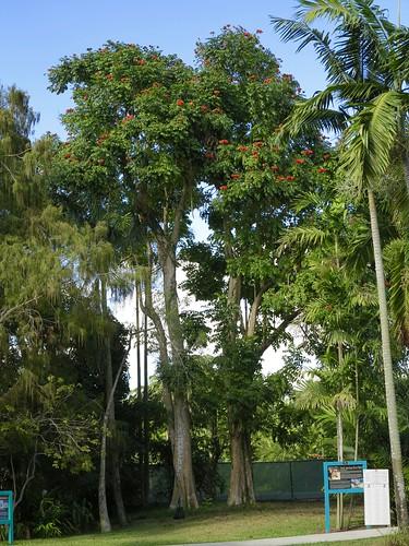 African Tulip Tree - Spathodea campanulata