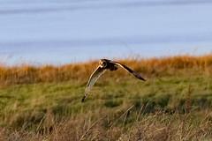 DSC_5065 seo (m.c.g.owen) Tags: asio flammeus short eared owl aust warth severn estuary south gloucestershire england birds january 8th 2019