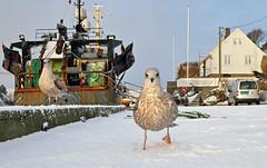Habouring the hungry (Arnt Kvinnesland) Tags: herringgull seabird harbour winter january gråmåke havn sjøfugl kyst måker vinter januar skudeneshavn karmøy norway