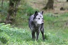 Louve du Canada_ALTESSE (Passion Animaux & Photos) Tags: loup canada canadian wolf parc animalier saintecroix france