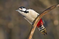 PICCHIO ROSSO MAGGIORE (f) (ric.artur) Tags: piemonte picchio rosso animali ali nikon naturalmente natura