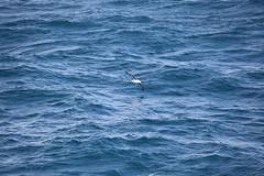 IMG_0205 (y.awanohara) Tags: humpbacks humpbackwhales whales whale southgeorgia scotiasea january2019 wildlife cetacean