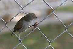 Barbados Bullfinch-IMG_6672-001 (cherrytree54) Tags: barbados bullfinch canon 70d 24105 bird canonef24105mmf4lisusm