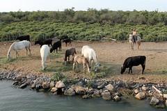 Manade (Thomas Schirmann) Tags: camargue manade horses chevaux bull taureaux gardian