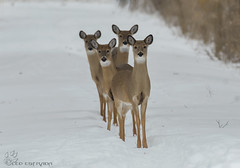 Too many heads, too many eyes and way many more legs!!! (Estrada77) Tags: deer doe whitetailed furrycreatures mammals wildlife outdoors foxriver mchenrycounty illinois nature animals nikon nikond500200500mm winter2019 feb2019