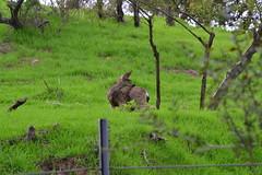 DSC_0060 (tracie7779) Tags: blacktaileddeer losangeles muledeer thegettymuseum california grass hillside