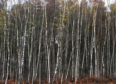 Silver trees (Explored) (Simon Verrall) Tags: silverbirch woods midhurst sussex westsussex forest trees