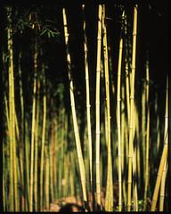 wild, not wild (öш) Tags: pentax67 105mmf24 6x7 mediumformat film filmisnotdead slidefilm fujichrome provia 100 bokeh bamboo