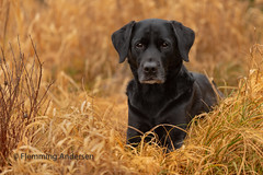 Buddy (Flemming Andersen) Tags: labrador pet buddy dog black outdoor nature yellow hund animal snedsted northdenmarkregion denmark dk