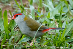 Red-browed Firetail (adult) (Jim Scarff) Tags: australianbirds finches firetail neochmiatemporalis passerines redbrowedfinch redbrowedfiretail adult exif:focallength=560mm exif:aperture=ƒ80 camera:model=canoneos7dmarkii camera:make=canon geo:location=chamberswildliferainforestlodge exif:model=canoneos7dmarkii exif:isospeed=6400 exif:lens=ef100400mmf4556lisiiusm14xiii exif:make=canon
