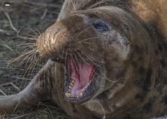 Jaws of love (davidrhall1234) Tags: greysealhalichoerusgrypus seal donnanook lincolnshire wildlifetrust animal coastal coast conservation mammal marine nature nikon outdoors world woodland shore shoreline