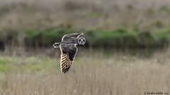 what up doc (blackfox wildlife and nature imaging) Tags: nikon d300s sigma150600c shortearedowl raptor birdsofprey bif deeestuary wirral wildlife