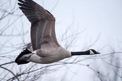 DSC_9922 goose (eyegoo) Tags: bird goose canadagoose