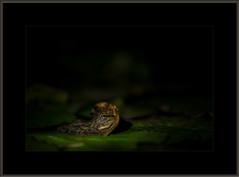 Fazzad-6D-2019-02-05-55499 16x24 wl (Fuad Azzad) Tags: costarica frog rana rã forreris forreri nature naturaleza natureza animal fauna noite noche night water agua aqua
