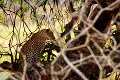 Behind the branches (Nugohs1) Tags: afriquedusud africa southafrica kruger sanpark leopard wild nature