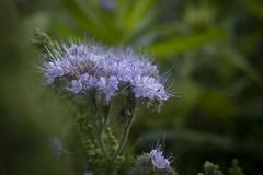 Feldblume (memories-in-motion) Tags: flower macro mft panasonic dmcgx8 leicadg summilux 25f14 nature green blue