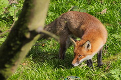 Foxes in Glasgow (jamiemcd17) Tags: fox wild mammal nature wildlife nikon kelvin river