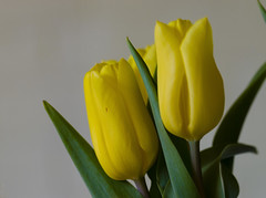 Flowers (ost_jean) Tags: tulips yellow nikon d5300 tamron sp 90mm f28 di vc usd macro 11 f004n ostjean tulpen