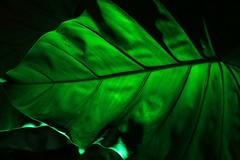 Back Lit Big Leaf 7D2_3334 (ferreth) Tags: 2018 zoolights leaf