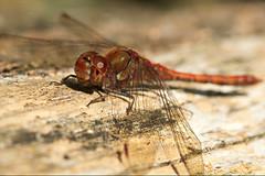 Blutrote Heidelibelle / Ruddy Darter (Sympetrum sanguineum) (uwe125) Tags: tiere insekten libellen blutrote heidelibelle sonnenbad insects macro dragonfly