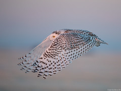 Snowy owl (andrériis) Tags: canada winter bird snowy owl goldenhour canon 300 mm