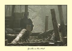 Pertinax lazing in the mist. (Ray. Hines) Tags: pentaxk5ii smcpentaxda18135mmf3556edalifdcwr gorilla mist fog paigntonzoo paignton devon zoo