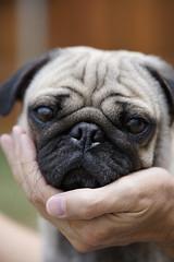Darvee the Pug (patrick.b.collins) Tags: pug pet dog